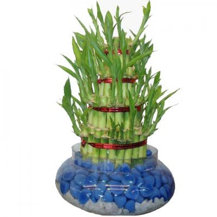 Send Lucky Plant To Vizag Order Online Lucky Plant To